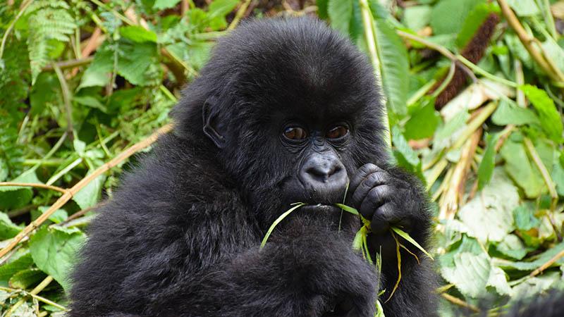 Baby gorilla eating grass.